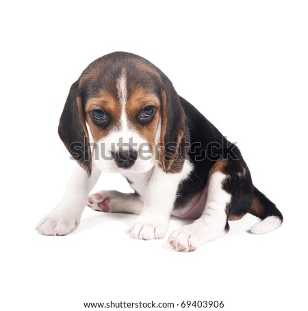 Beagle puppy is tired and sad