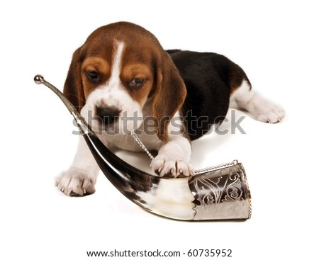 Beagle puppy lying down and playing with a horn