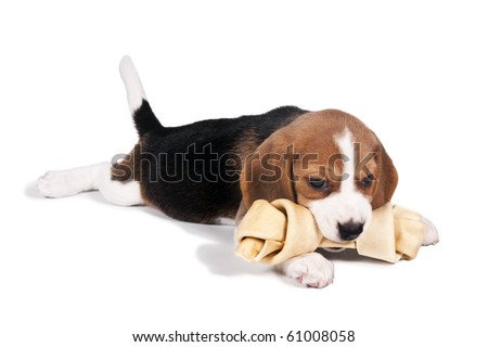 Beagle puppy lying down chewing bone