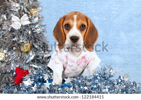 Beagle puppy on fake fur blue background with silver blue christmas tree with ornaments