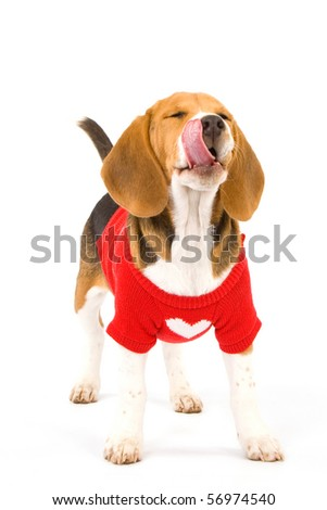 Beagle puppy on white background wearing sweater, licking lips