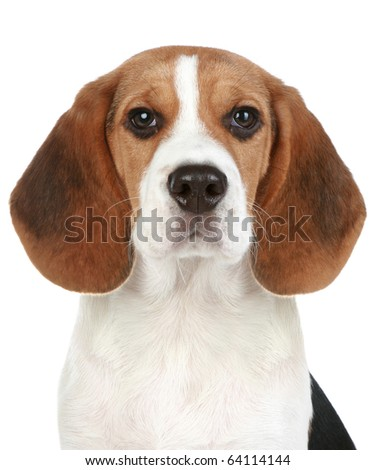 Beagle puppy portrait. Isolated on a white background