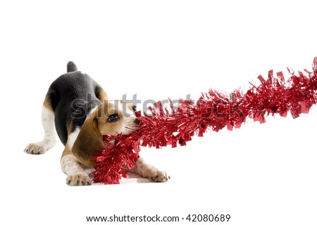 Beagle puppy pulling on a Christmas Decoration