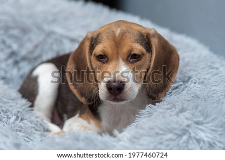Beagle puppy resting on a couch Zdjęcia stock ©
