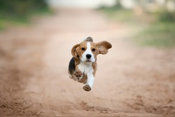 Beagle puppy running happy in the backyard