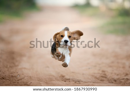 Beagle puppy running happy in the backyard Zdjęcia stock ©