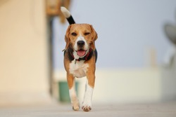 Beagle puppy running playing in the sun