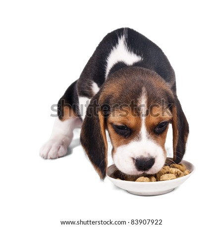 Beagle puppy sitting eating dry food