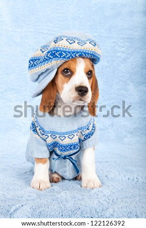 Beagle puppy sitting on blue background wearing blue knitted jersey and large cap hat