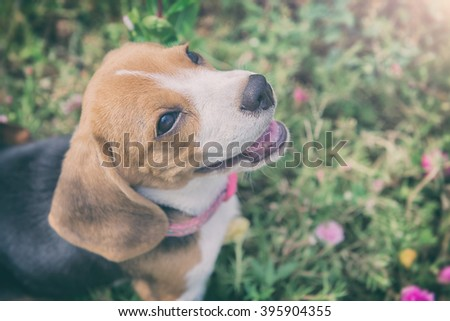 beagle puppy sitting on green...
