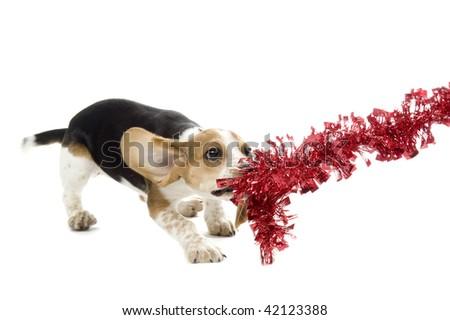 Beagle Puppy tug o' war on a Christmas Decoration