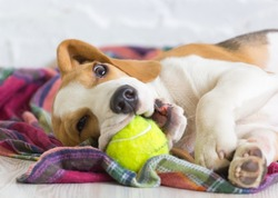 Beagle puppy with a ball