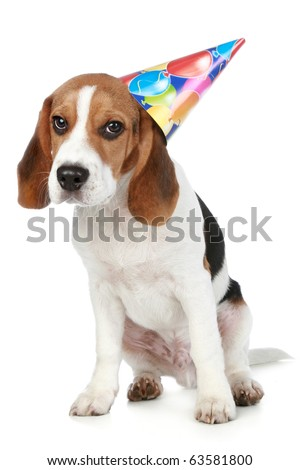 Beagle puppy  with birthday party hat on a white background