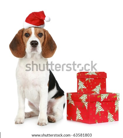 Beagle puppy with Santa hat and Christmas gifts. Isolated on a white background