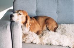 Beagle sleeps on cozy sofa