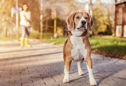 Beagle walk on long lead at the autumn park