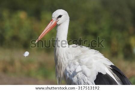 beak and feather/stork bird - Shutterstock ID 317513192