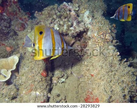 Beaked Coralfish (Chelmon rostratus) swimming over coral reef.