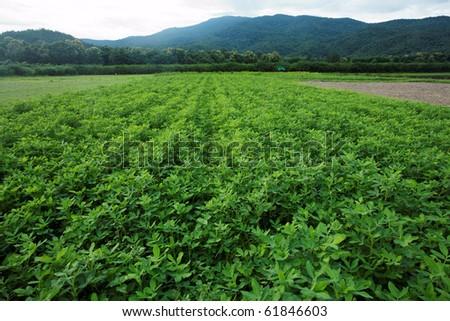 Bean field plantation
