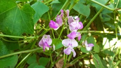 Bean flower in garden with green leaves . Pink Bean flower blooming brightly in the field. Beautiful Vegetable flowers.