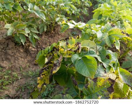 Bean leaf disease, bacterial blight,  crop planting at the fields Сток-фото ©
