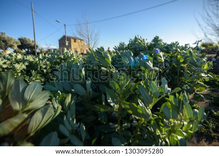 Bean plants, Vicia faba, in an orchard.