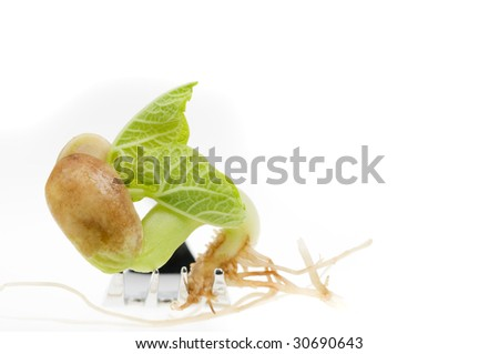 germination of seed. Bean Seed Germination Isolated