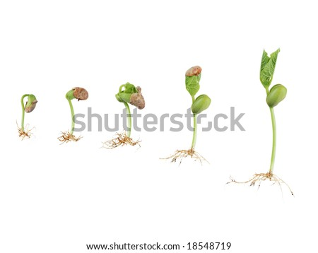 bean seed germination isolated on white