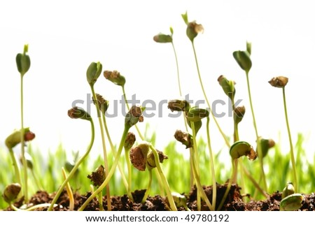 bean seed germination with soil isolated on white