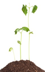 Bean sprouts isolated on white background