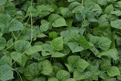Beans. Phaseolus. Bean leaf. Garden. Field. Growing. Close-up. Horizontal photo