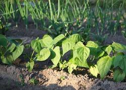 Beans (Phaseolus vulgaris) growing in the garden