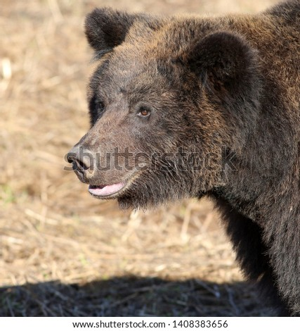 bear. bear portrait. Brown bear #1408383656