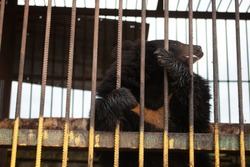 Bear behind bars. Wild bear in the aviary. Big beast in the zoo. Containment of the beast in captivity. Brown bear in a cage.