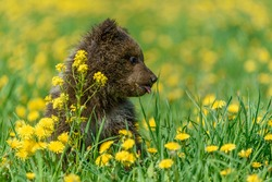 Bear cub in spring grass. Dangerous small animal in nature meadow with yellow flowers. Bear without mother. Wildlife scene