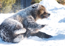 Bear Grizzly rolling in the snow with hide  covered in snow, back paws up and facing forward.  The bear's right front paw is raise and the bear is in a sideways position looking that direction.