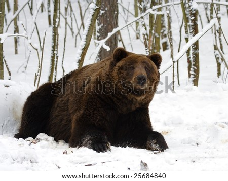 bear hunting at the winter forest stock photo 25684840. Black Bedroom Furniture Sets. Home Design Ideas