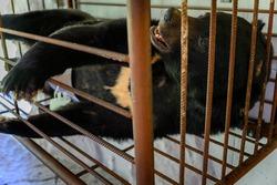 Bear in a cage in captivity taking bile - illegal farm.