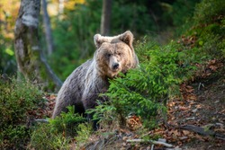 Bear in yellow forest. Autumn trees with bear, Ursus arctos, fall colours