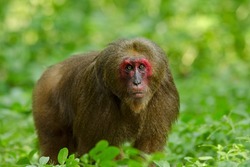 Bear macaque, Stump-tailed macaque (Macaca arctoides) with a red face in Keang Krachan National Park, Thailand.