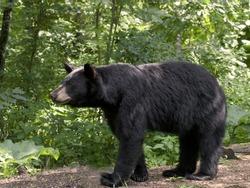 Bear on the Prowl