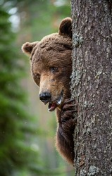 Bear peeps out from behind a tree.The bear is hiding behind a tree. Close-up Portrait. Adult wild Brown bear in the summer forest. Dominant male. Wild nature. Natural habitat.