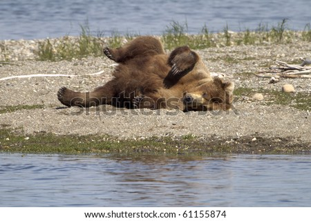 Bear Roll - A grizzly bear does a roll on the beach to scratch its back at Katmai National Park, Alaska.