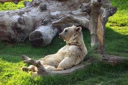 bear sit on armchair