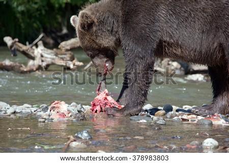 stock-photo-bear-tearing-prey-kamchatka-
