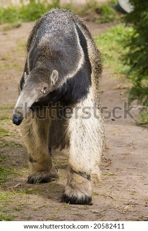 Bear tingling giant