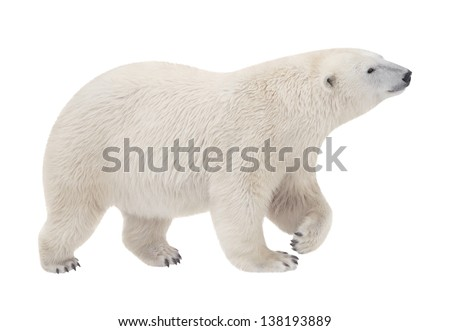 bear walking on a white background