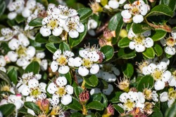 Bearberry cotoneaster (Cotoneaster dammeri) shrub, native to central and southern China, and naturalized in Europe