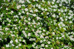 Bearberry cotoneaster Radicans white flower - Latin name - Cotoneaster dammeri Radicans