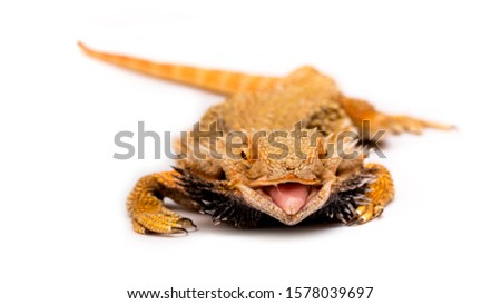 Bearded agama lizard on a white background is insulated. Endemic Australia reptile yellow with spikes. Exotic tropical animal. stock photo